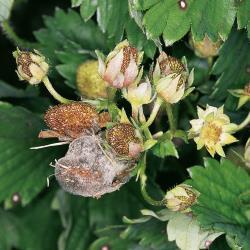 Botrytis-Fruchtfaeule_I.jpg