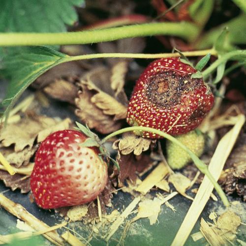 Colletotrichum-Fruchtfaeule_II.jpg