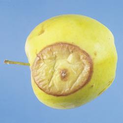 Penicillium_Fruchtfaeule_I.jpg