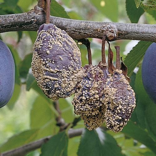 Monilia-Fruchtfaeule_II.jpg